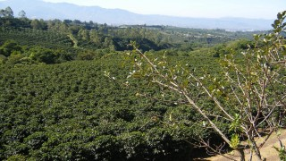 Plantation of the drug on Costa Rica